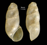 Botryphallus epidauricus (Brusina, 1866)Specimen from Benzú, Ceuta, Strait of Gibraltar (actual size 1.3 mm).