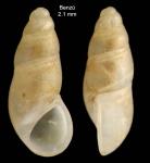 <i>Peringiella elegans</i> (Locard, 1892)</b>Specimen from Benzú, Ceuta, Strait of Gibraltar (actual size 2.1 mm).