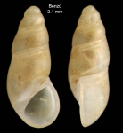 Peringiella elegans (Locard, 1892)Specimen from Benzú, Ceuta, Strait of Gibraltar (actual size 2.1 mm).