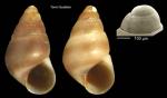 <i>Barleeia unifasciata</i> (Montagu, 1803)</b>Specimen from Torre Guadiaro, Cádiz, Spain (actual size 2.7 mm), and protoconch of a specimen from Torre de la Peña, Tarifa, Spain