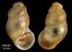 Nodulus spiralis van der Linden, 1986 Specimen from Isla de Alborán (actual size 1.4 mm).