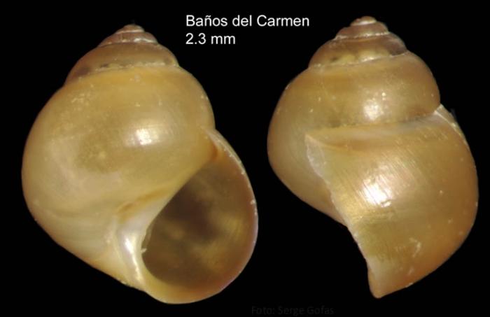 Paludinella globularis (Hanley in Thorpe, 1844)Specimen from Baños del Carmen, Málaga, Spain (actual size 2.3 mm).