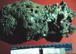 Spongia barbara lectotype specimen