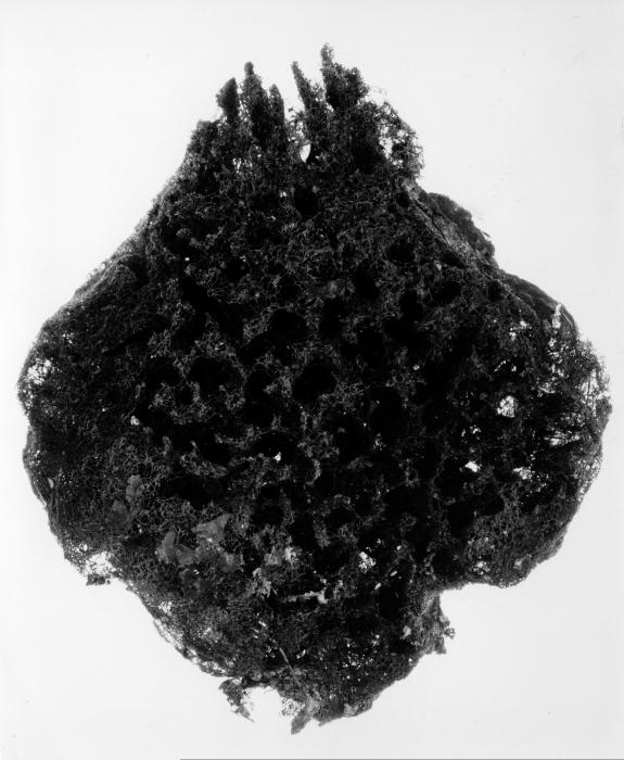 Spongia cerebriformis paralectotype specimen