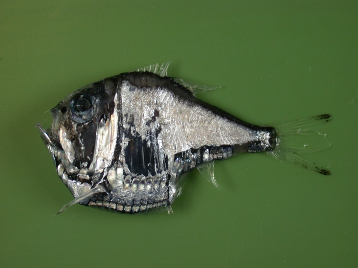 Argyropelecus olfersoni