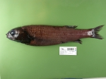Bellocia koefoedi