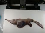 Chimaeriformes