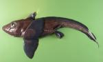Hydrolagus affinis