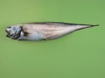 Ophidiiformes