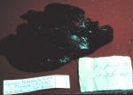 Spongia fenestrata Duch. & Mich lectotype specimen