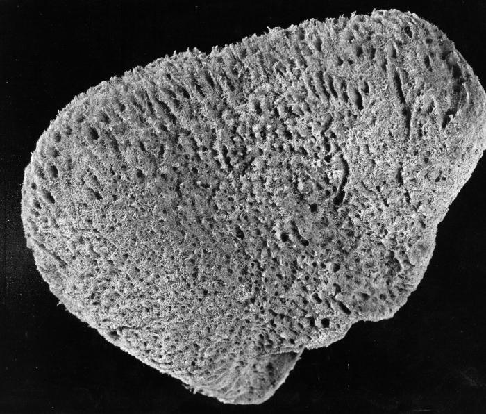 Spongia obliqua lectotype specimen