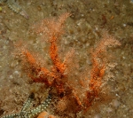 Eudendrium arbuscula, female, ca 10 cm high, Whirlpool Cliff, Lough Hyne, Northern Ireland. Photo B. Picton, Belfast