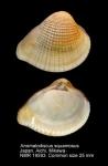 Anomalodiscus squamosus