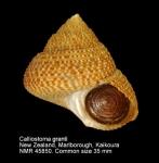 Calliostoma granti
