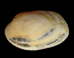 Venerupis senegalensis (Gmelin, 1791)