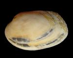 Venerupis senegalensis (Gmelin, 1791)
