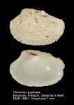 Chioneryx pygmaea