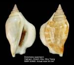 Dolomena swainsoni