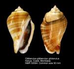 Gibberulus gibberulus gibberulus