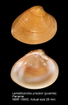 Lamelliconcha unicolor