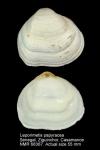 Psammotreta papyracea