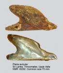 Pteria avicular