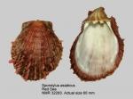 Spondylus fauroti