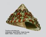 Trochus ochroleucus