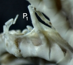 Adelometra angustiradia (PH Carpenter, 1888)  base of first pinnule