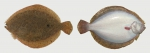 Brill, Scophthalmus rhombus
