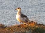 The Parasitic Jaeger, also known as the Arctic Skua or Parasitic Skua, (Stercorarius parasiticus)