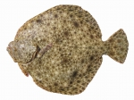Scophthalmus maeoticus - Black Sea turbot (kalkan)