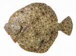 Scophthalmus maeoticus - Black Sea turbot (kalkan)
