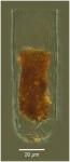 Bursaopsis punctatostriata