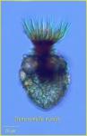 Stenosomella nivalis