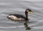The Red-necked Grebe (Podiceps grisegena)
