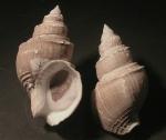 Clinopegma magnum unicum