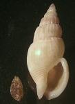 Antillophos laevis