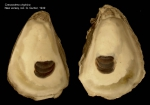 Crassostrea virginica (Gmelin, 1791)Specimen from New Jersey