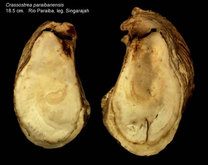 Crassostrea paraibanensis  Singarajah, 1980Specimen from Rio Paraiba, Brazil, leg. Singarajah (actual size 18.5 cm)