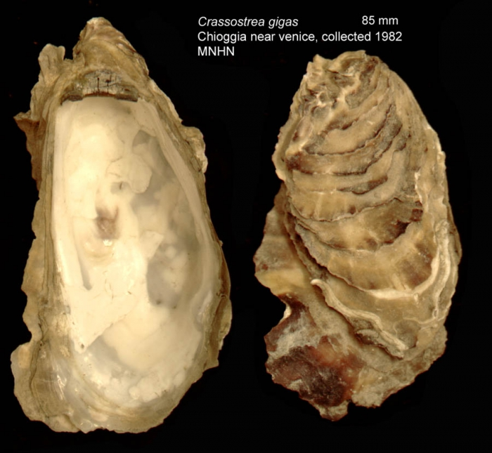 Crassostrea gigas (Thunberg, 1793)Specimen from Chioggia near Venice, Italy (actual size 85 mm)