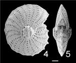 Elphidium aculeatum subrotatum TOPOTYPE