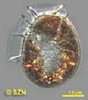 <i>Dinophysis ovum</i>