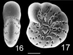 Elphidium excavatum clavatum NZ