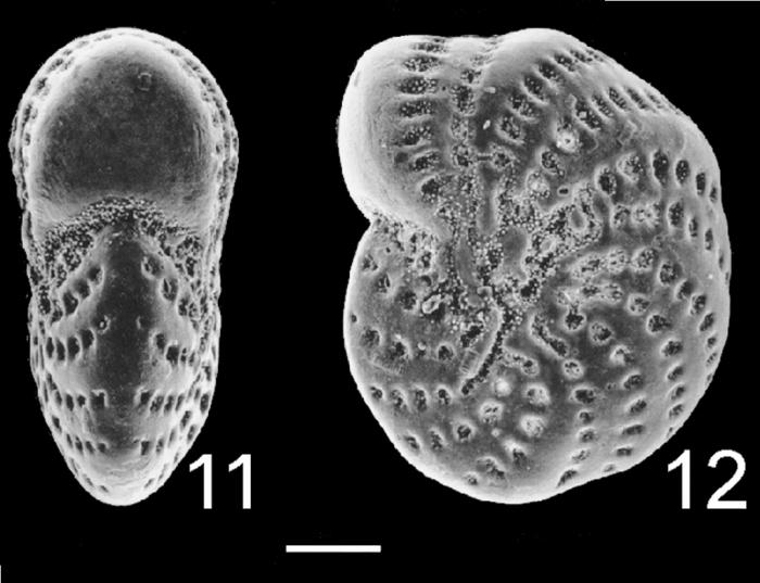 Elphidium williamsoni New Zealand
