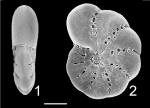 Elphidium lene Australia