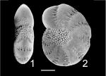 Elphidium oceanicum Australia