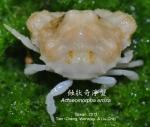 Actaeomorpha erosa