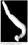 Cryobdella ljadovi, ventral view