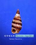 Mastonia cingulifera